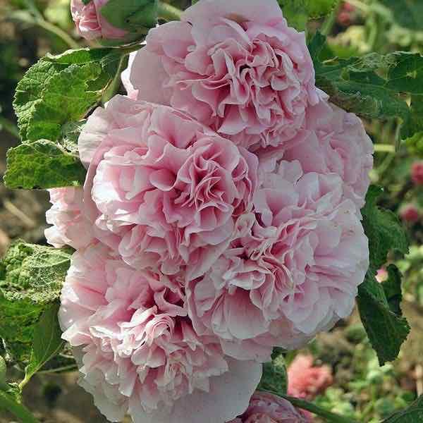 Hollyhock Appleblossom flowers.