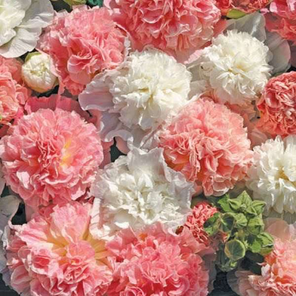 Hollyhock Bride's Bouquet flowers in a mix of salmon pink and white double flowers.