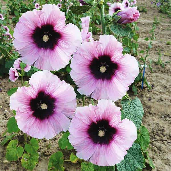 Hollyhock Halo Candy flower spike.