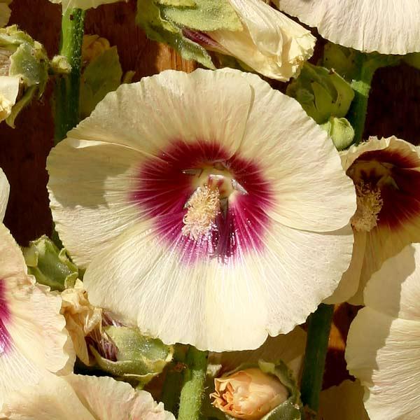 Hollyhock Cream hollyhocks blossoms.