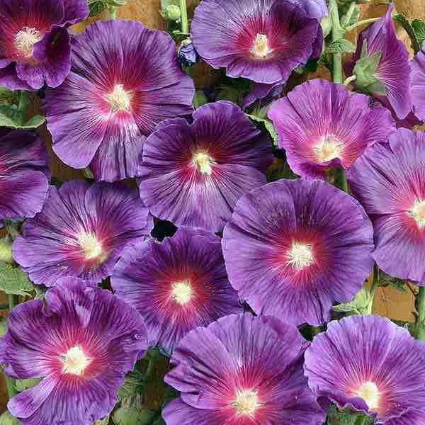Hollyhock Halo Lavender blooms.