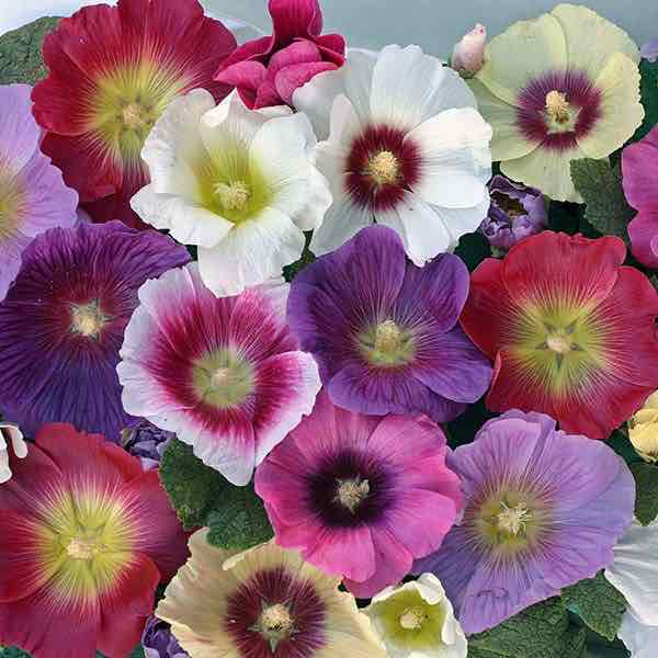 Hollyhock Halo Mix flowers.