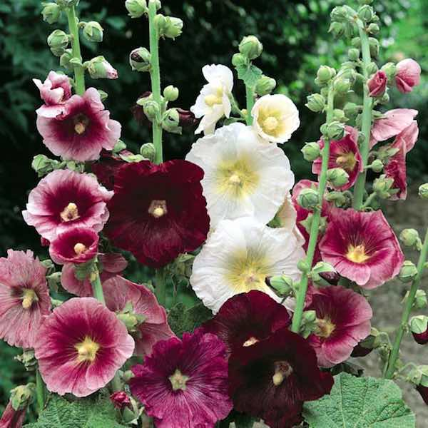 Hollyhock Indian Spring Mix with single and semi-double flowers on 6-7 foot tall plants.