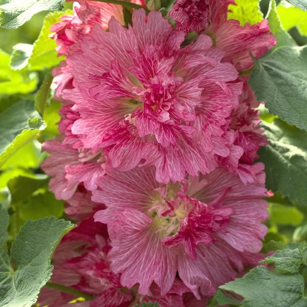 Spring Celebrities Rose hollyhock with 3 inch rose colored, ruffled flowers on dwarf, 3 foot tall plants.