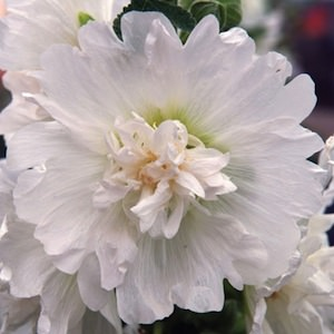 Spring Celebrities White hollyhocks as 3 foot tall plants with ruffled, large double flowers.