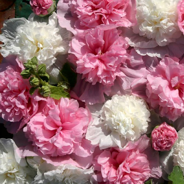 Pink and White flowers of Hollyhock The Bridesmaid.