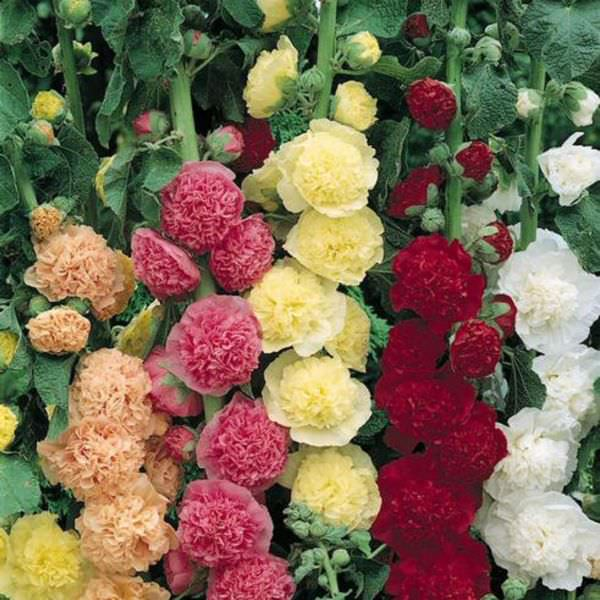 Hollyhock Chater's Double Mix in a mix of huge double flowers in a wide range of colors.