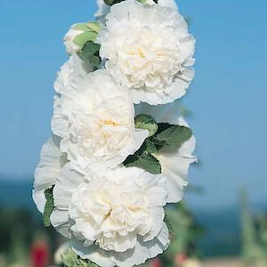 Hollyhock Icicle with large, fully double, pure white flowers.