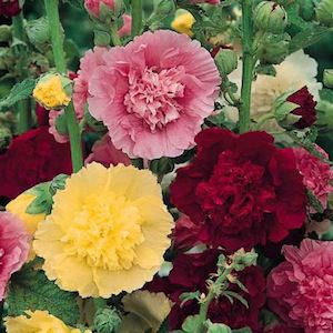 Hollyhock Majorette Mix with frilly, semi and fully double flowers on dwarf, 2 foot plants.