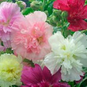 Hollyhock Queeny Dwarf Mix, 2-3 foot tall plants with large, double flowers.