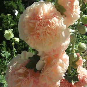 Hollyhock Salmon Queen with huge, double salmon flowers highlighted with apricot shades.
