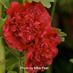 Hollyhock Scarlet 'O Hara with fully double, 5-6 inch scarlet flowers.