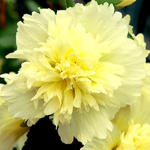 Hollyhock Spring Celebrities Lemon dwarf plants with yellow flowers.