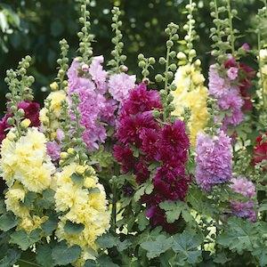 Hollyhock Spring Celebrities Mix dwarf plants in flower.