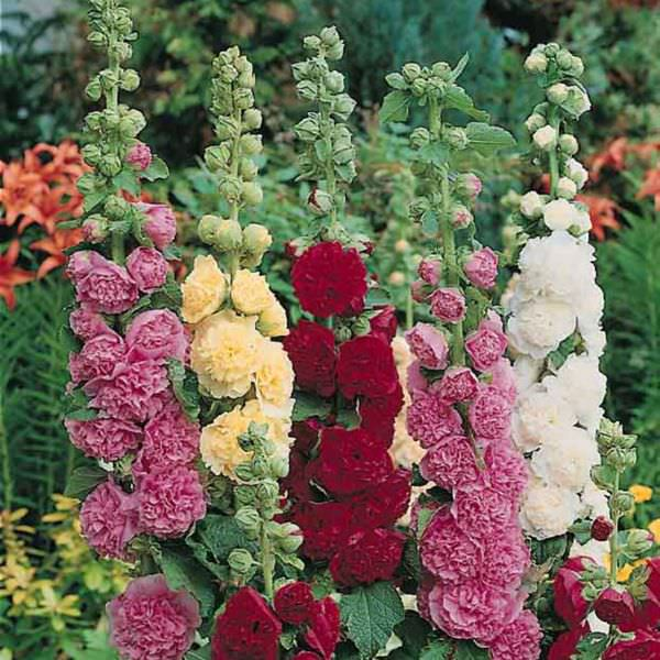 Hollyhock Summer Carnival with fully double flowers in a wide range of colors.