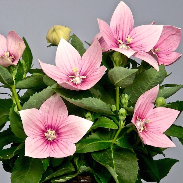 Late flowering plant with light pink purple flowers for id my garden httpswallowtailgardenseedsperennial flowers platycodon grandiflorusballoon flower astra pink x2g mightylinksfo