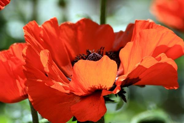 Oriental Poppy Brilliant - Papaver orientalis