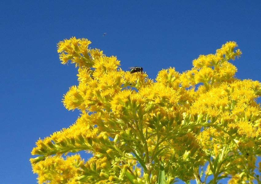 Goldenrod Plant Seed Golden Baby Goldenrod