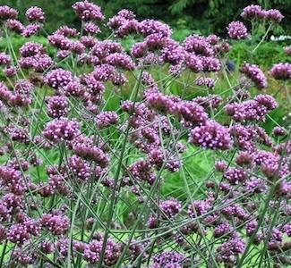 Verbena Purple Top - Verbena bonariensis - perennial garden seeds