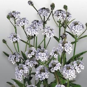 Verbena Polaris - Verbena rigida - perennial garden seeds
