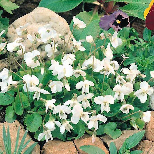 Viola odorata Reine de Neiges - sweet violets with white flowers - perennial flower seeds