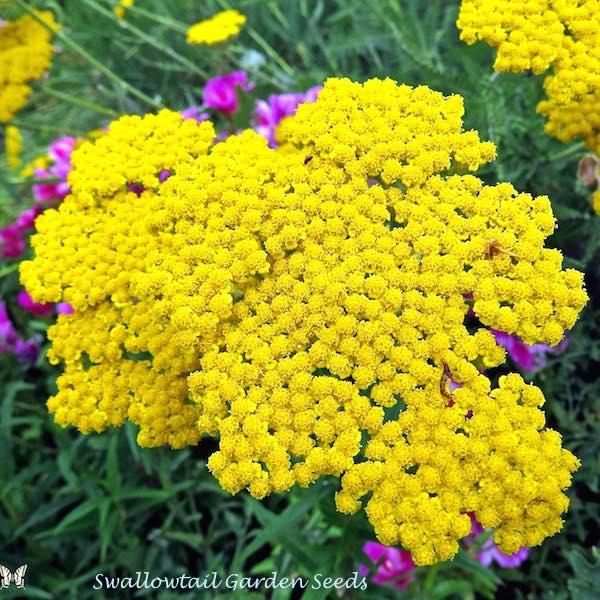 Yarrow Cloth of Gold - Achillea filipendula - perennial flower garden seeds.