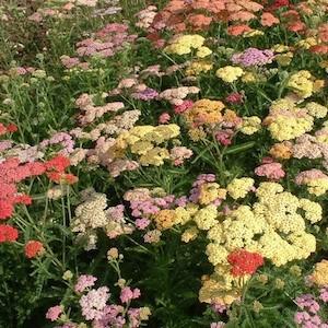 Yarrow Colorado Mix - Achillea millefolium - perennial flower garden seeds