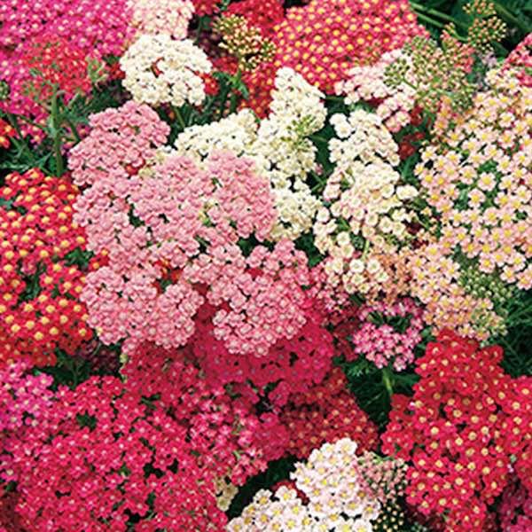 Yarrow Summer Berries Achillea millefolium perennial flower garden seeds