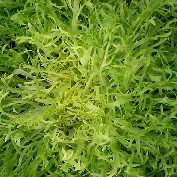 Maraichere Tre Fine Frisee Organic Endive seeds - Garden Seeds - Vegetable Seeds