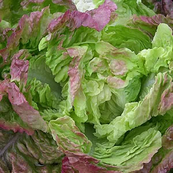 Carmona Butterhead organic lettuce seeds - Garden Seeds - Vegetable Seeds