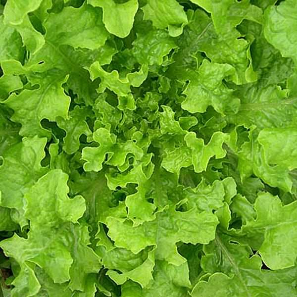 Emerald Oak Oakleaf organic lettuce seeds - Garden Seeds - Vegetable Seeds