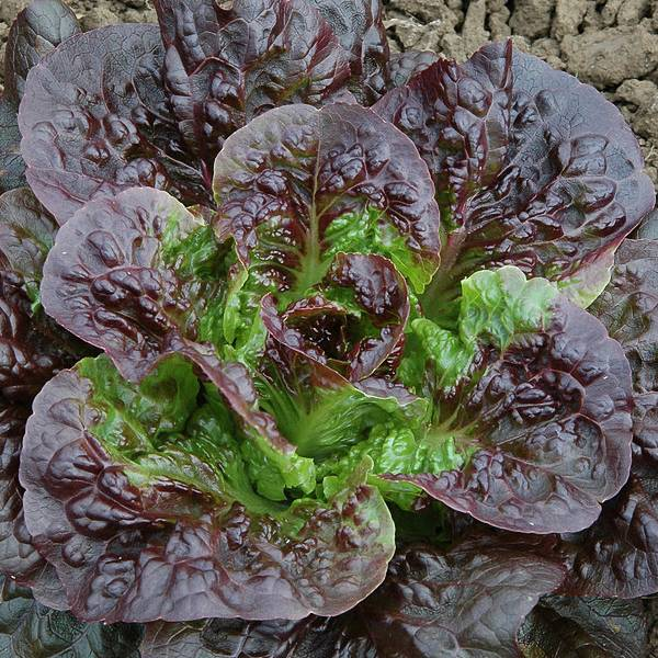 Pandero romaine organic lettuce seeds - Garden Seeds - Vegetable Seeds