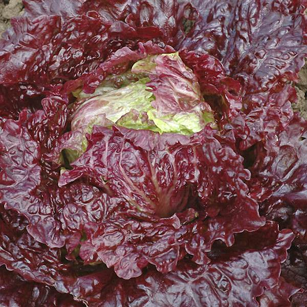 Brilliant crimson head of Red Ball Jets Summer lettuce seeds.