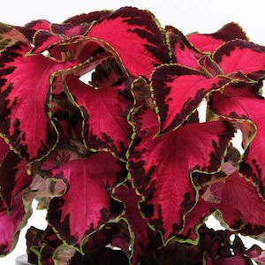 Coleus Premium Sun Chocolate Covered Cherry - Bulk Flower Seeds