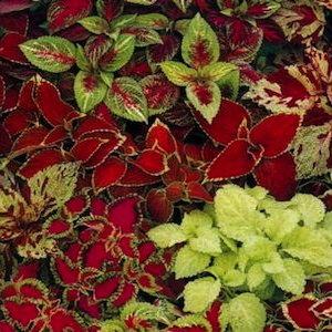 Coleus Fairway Mix - Bulk Flower Seeds