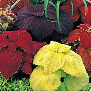 Coleus Giant Exhibition Mix - Bulk Flower Seeds