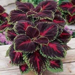 Coleus Kong Red - Bulk Flower Seeds