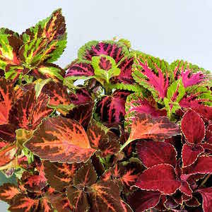 Coleus Superfine Rainbow Mix - Bulk Flower Seeds