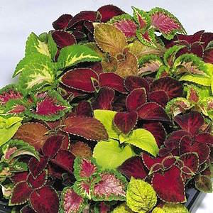 Coleus Wizard Mix - Bulk Flower Seeds
