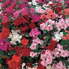 Impatiens Accent Premium Mix  - Bulk Flower Seeds