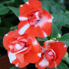 Impatiens Athena Orange Flash  - Bulk Flower Seeds