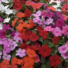 Impatiens Balance Mix  - Bulk Flower Seeds