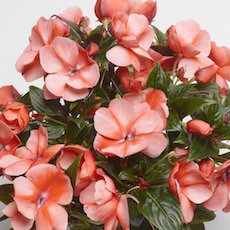 Impatiens Florific Sweet Orange   - Bulk Flower Seeds
