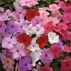 Impatiens Heat Elite Full Mix  - Bulk Flower Seeds