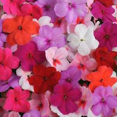 Impatiens Impreza Formula Mix  - Bulk Flower Seeds