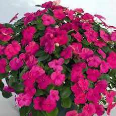 Impatiens Lollipop Mix  - Bulk Flower Seeds