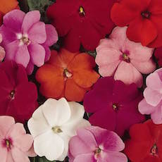 Impatiens Divine Mix Improved - Bulk Flower Seeds