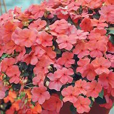 Impatiens Super Elfin Melon  - Bulk Flower Seeds