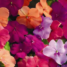 Impatiens Xtreme Mix  - Bulk Flower Seeds