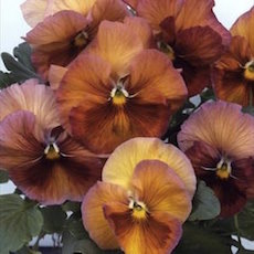 Pansy Acquarelle Gelato Raspberry - Bulk Flower Seeds